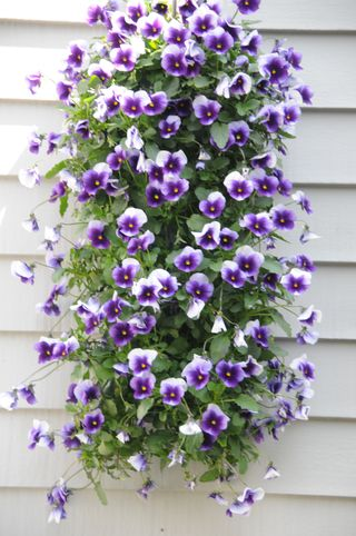 purple pansy hanging basket
