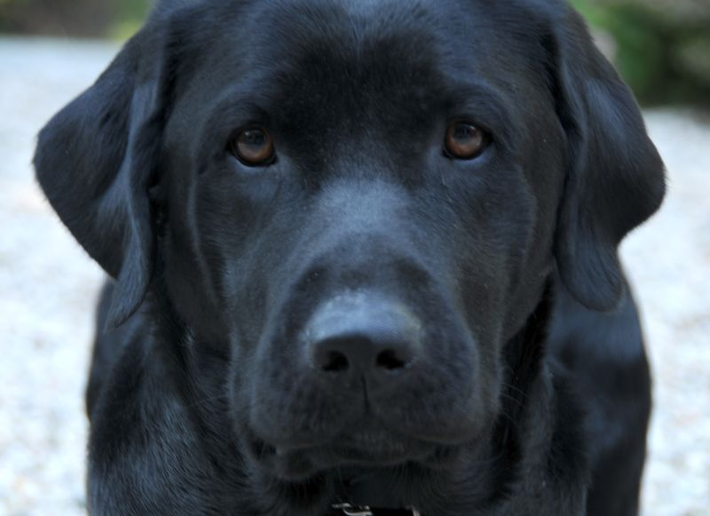 Black Lab Close up